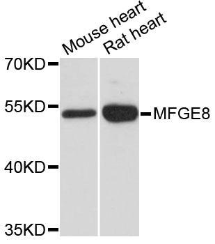 abbexa MFGE8 Antibody SKU: abx126154 package