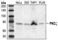 US Biological Anti-Protein Kinase C zeta (PKCz) SKU: P9103-40G package