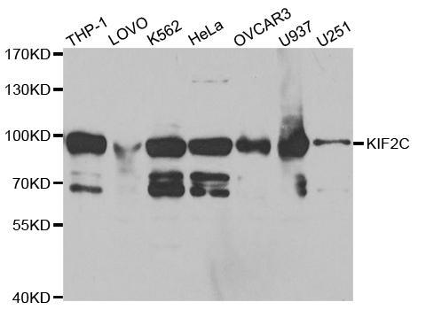 St John's Laboratory Anti-KIF2C Antibody SKU: STJ27402 package