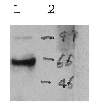 US Biological Rabbit Anti-rat Perforin polyclonal antibody SKU:138214 package