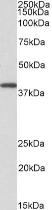 GNAQ Antibody SKU: abx430077