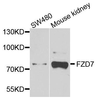 FZD7 Antibody SKU: abx003117