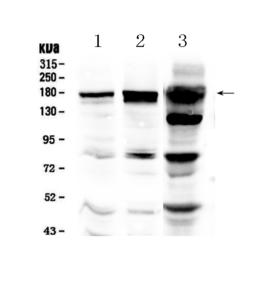 Anti-EGFR Picoband Antibody SKU: A00023