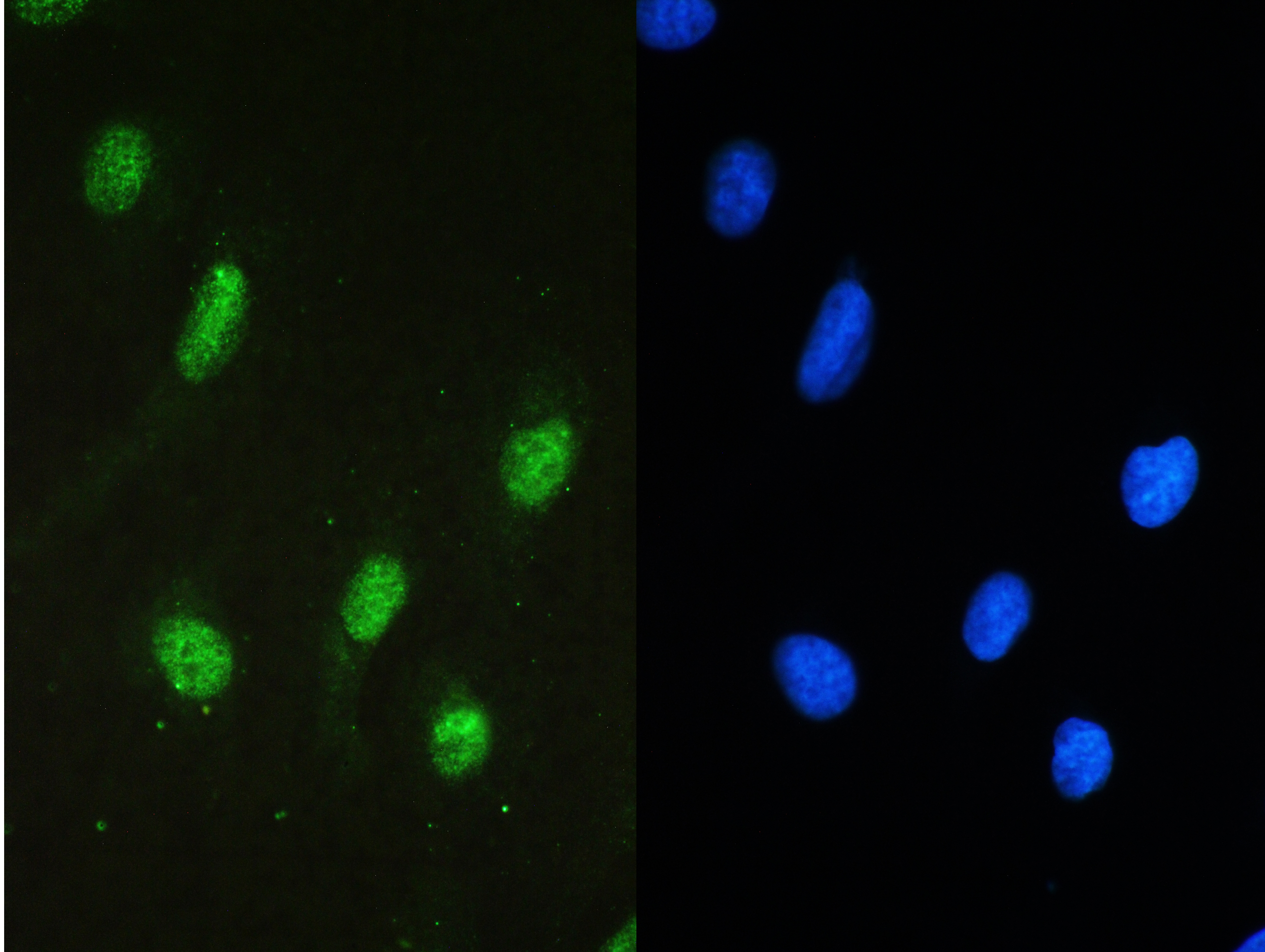 Anti-STAT1 Picoband Antibody SKU: A00036-2