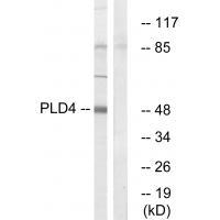 Anti-PLD4 Antibody SKU: A13908
