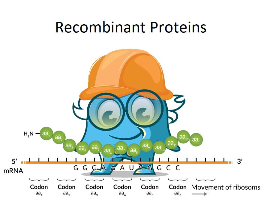 EEF1B2 Eukaryotic Translation Elongation Factor 1 Beta 2 Human Recombinant Protein SKU: PROTP24534