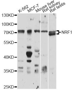 Anti-NRF1 Antibody SKU: STJ27493
