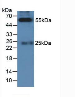 Rabbit Anti-Cat IgG Antibody (HRP) SKU : abx400018